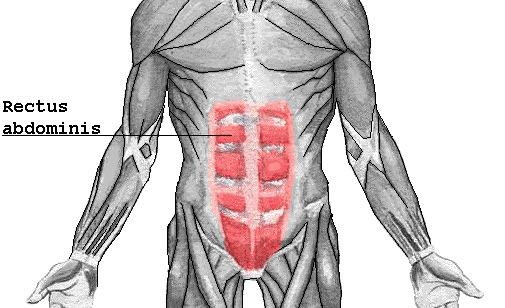 Untere Bauchmuskeln trainieren: Bild vom geraden Bauchmuskel des Menschen.