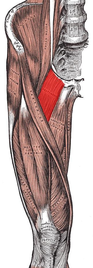 Bierbauch weg: Bild der rechten Oberschenkelmuskulatur des Menschen.