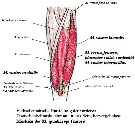Beinbeuge: Foto von einer schematischen Darstellung des Oberschenkel mit Quadrizeps