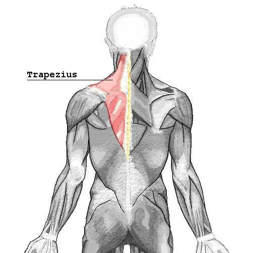 Kapuzenmuskel: Foto von der Rückansicht eines Menschen mit der roten Makierung des Trapezmuskels am oberen Rücken.