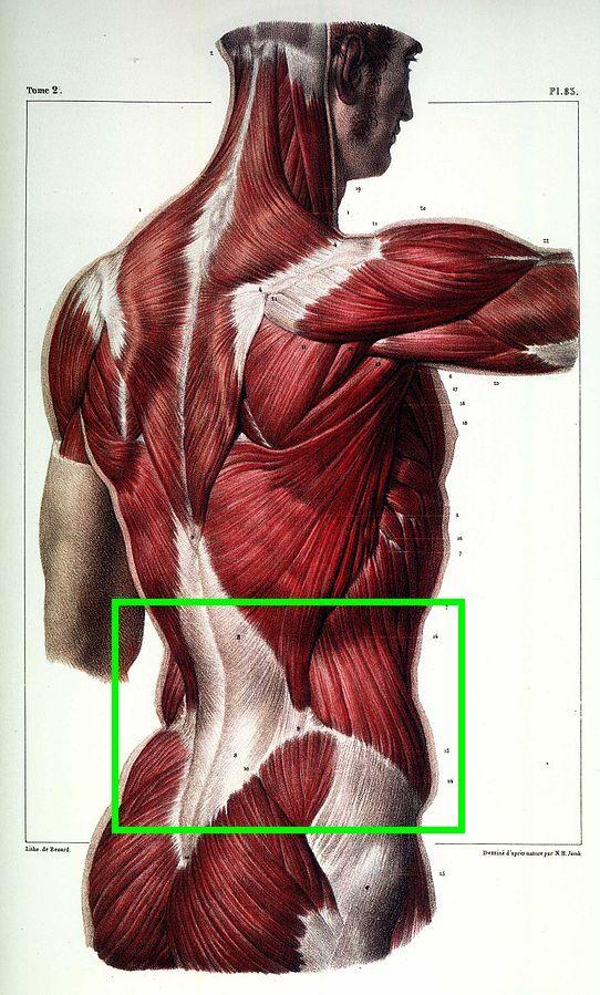 Rumpfbeugen: Foto von der Rücken- und Gesäßmuskulatur eines Menschen.