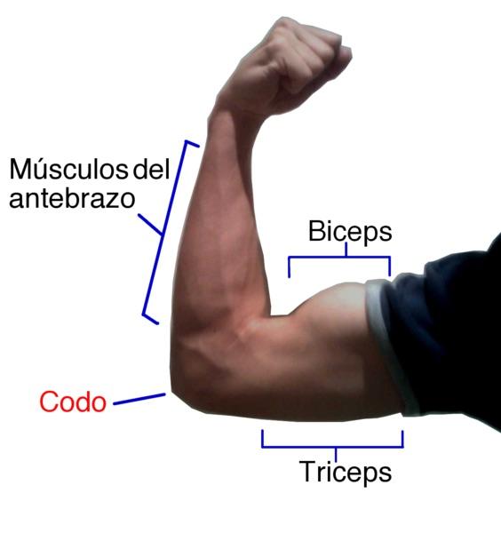 Supersatz: Foto von einem männlichen Oberarm mit den Makierungen für den Bizeps und den Trizeps.