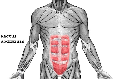 Foto von der Abbildung der geradenBauchmuskeln.