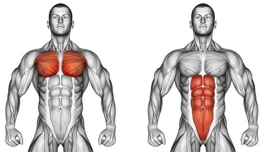 Hohlkreuz weg trainieren: Foto von den Brustmuskeln und den geraden Bauchmuskeln.