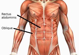 Foto von der Abbildung mit der Bezeichnung gerade und schräge Bauchmuskeln.