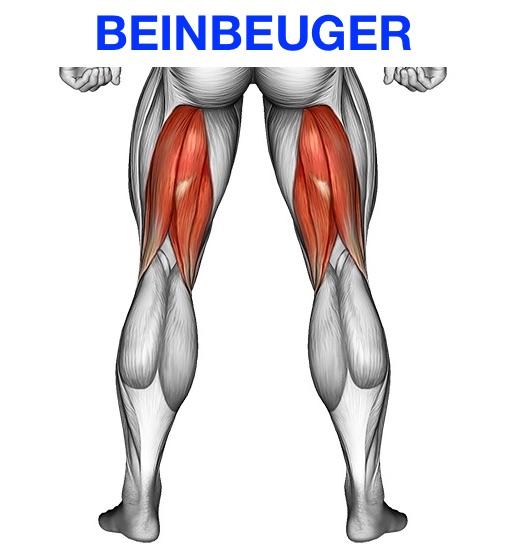 Foto vom Beinbeuger Muskel in der Rückansicht.