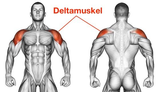Kurzhantel Schulterdrücken: Foto von der Vorder- und Rückansicht des Deltamuskel.