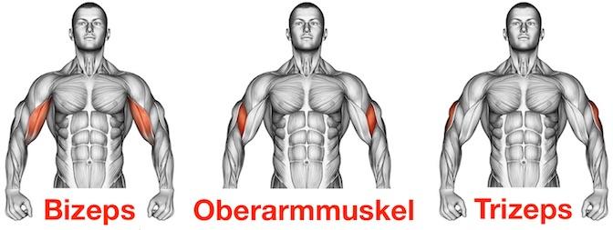 Grafik von den drei Oberarmmuskeln Bizeps, Oberarmmuskel und Trizeps.
