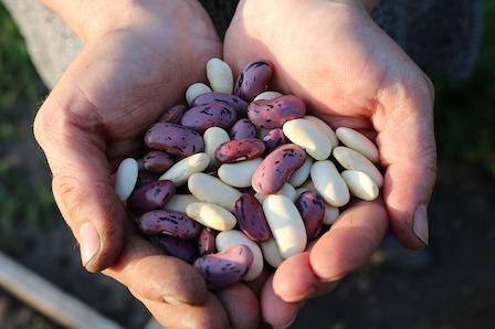Die besten Eiweißquellen: Foto von verschiedenen Sorten Hülsenfrüchte wie Bohnen.