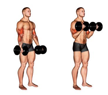 Unterarme trainieren: Foto von der Übung beidarmige Bizepscurls mit Kurzhanteln Untergriff.