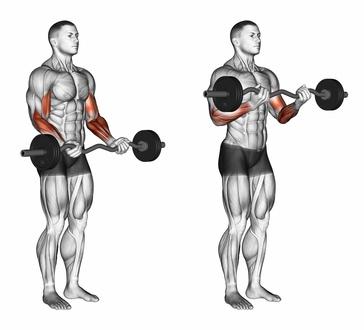 Unterarme trainieren: Foto von der Übung Bizepscurls mit SZ-Hantel Untergriff.