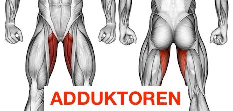 Grafik von dem Adduktoren Muskel an der Oberschenkel Innenseite.