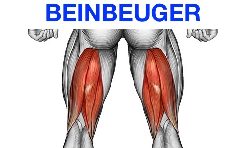Grafik von dem Beinbeuger Muskel Beinbizeps.