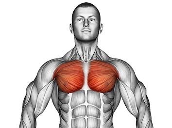 Bild von den Brustmuskeln beziehungsweise der Brustmuskulatur.