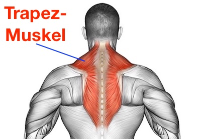 Foto von der Nackenmuskulatur / Trapezmuskel namens Musculus trapezius.
