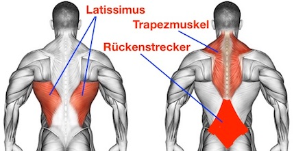 Foto von der Rückenmuskulatur Rückenstrecker, Latissimus und Trapezmuskel.