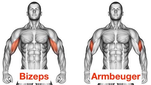 Foto von den Kurzhantelcurls Muskeln Bizeps und Armbeuger.