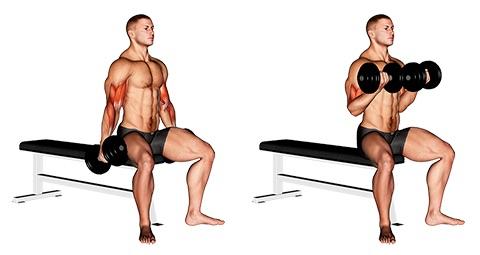 Foto von der Übung Kurzhantelcurls sitzend.