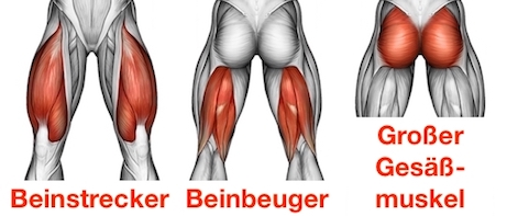 Foto von den Beinpresse Muskeln: Beinstrecker, Beinbeuger und großer Gesäßmuskel.