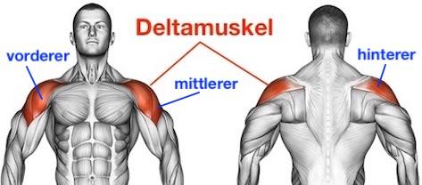 Foto von dem Deltamuskel Musculus deltoideus der Schultermuskulatur.