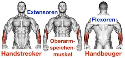 Foto von den Extensoren Unterarm Handstrecker und Oberarmspeichenmuskel und den Flexoren Unterarm Handbeuger.