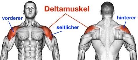 Foto von den Muskeln vorderer, seitlicher und hinterer Deltamuskel namens Musculus deltoideus.