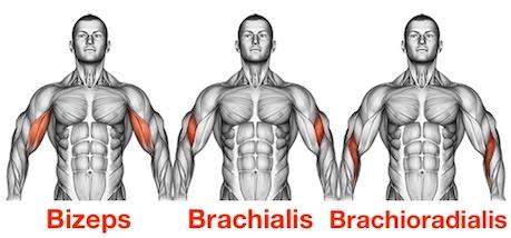 Foto von den Kurzhantel Curls Muskeln Bizeps Brachialis und Brachioradialis.