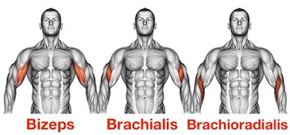 Foto von den Bizeps Übungen Muskeln Bizeps Brachialis und Brachioradialis.