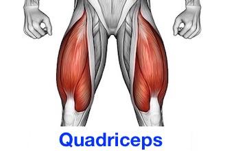 Foto vom Quadriceps / Quadrizeps, auch Beinstrecker Muskel genannt.