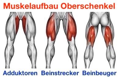 Muskelaufbau Oberschenkel: Foto von den Muskeln Adduktoren, Beinstrecker und Beinbeuger.