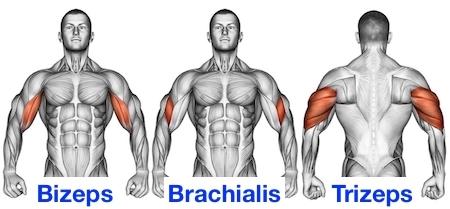 Foto von den Oberarmmuskeln Bizeps, Brachialis und Trizeps.