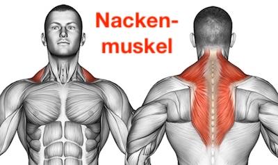 Nackenmuskel: Foto von dem Trapezmuskel namens Musculus Trapezius.