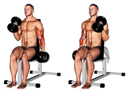 Foto von der Übung Hammer CurlsKurzhantelabwechselnd sitzend.