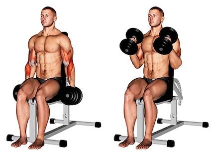 Foto von der Übung Hammer CurlsKurzhantelbeidarmig sitzend.