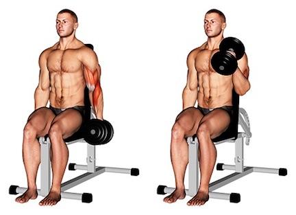 Foto von der Übung Hammercurl Kurzhantel sitzend einarmig.